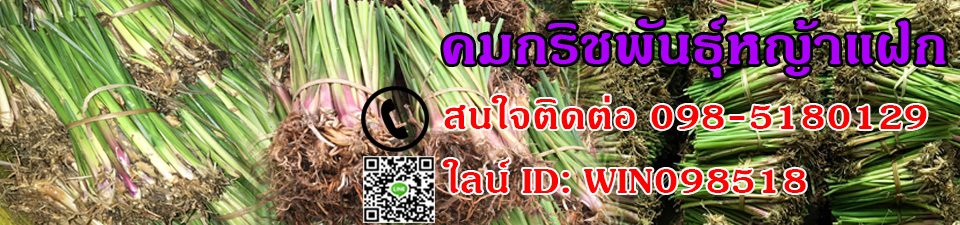 ขายหญ้าแฝก รับปลูกหญ้าแฝก จัดส่งฟรีทั่วไทย โทร098-5180129
